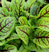 Sorrel - Red Veined Appx 100 seeds -  Vegetable seed